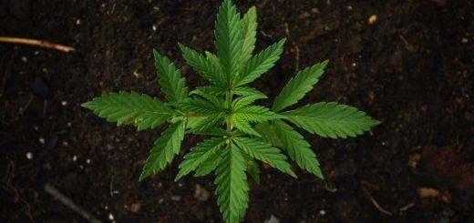 come acquistare cannabis light online